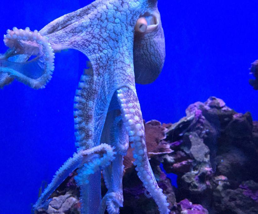 O polvo tem 8 tentáculos…