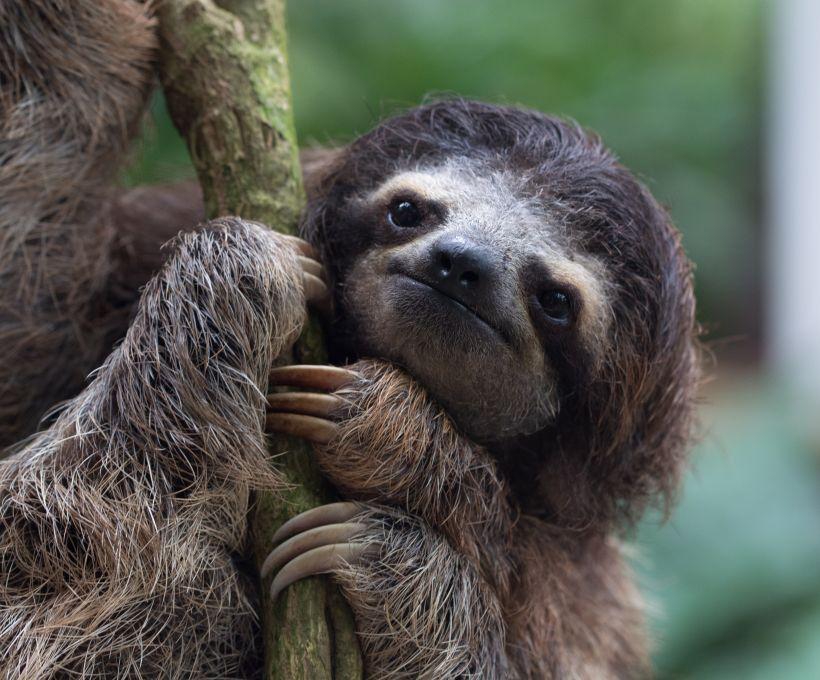 A curiosidade é sobre o bicho-preguiça.
