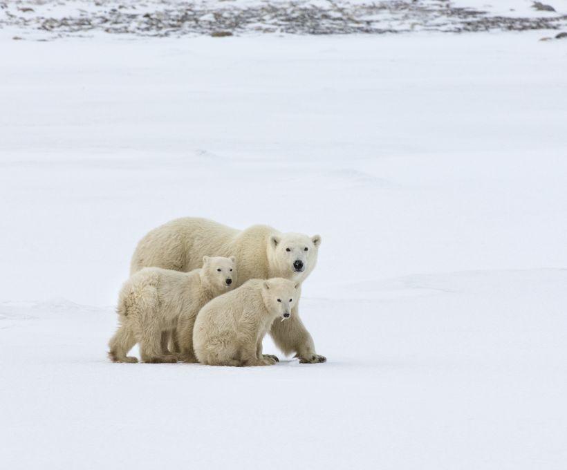 Você sabe qual é a cor da pele do urso polar?