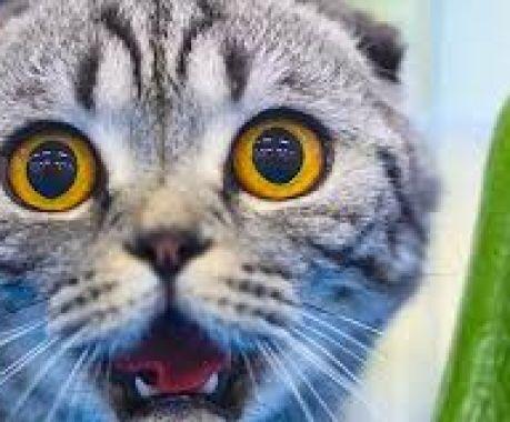 Por que gatos têm medo de pepinos?