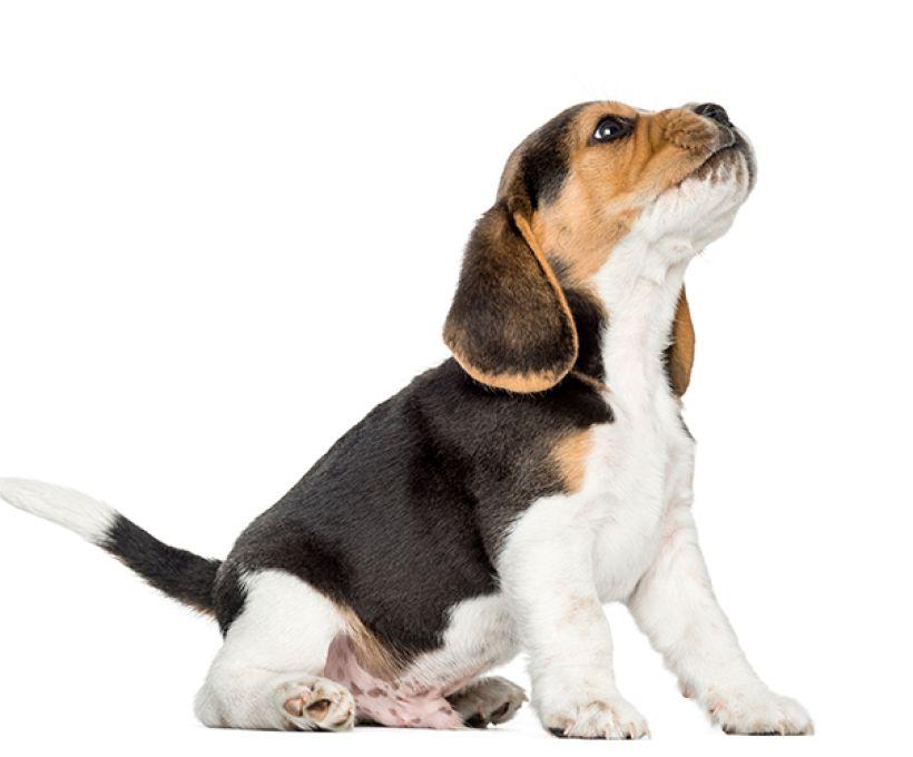 Por que os cães uivam?