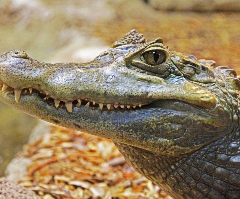 Crocodilo barrigudo
