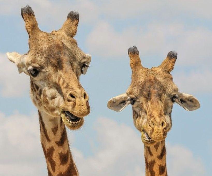 Girafa e papagaio
