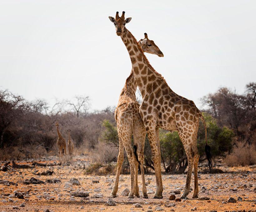 Por que as girafas têm pescoço comprido?