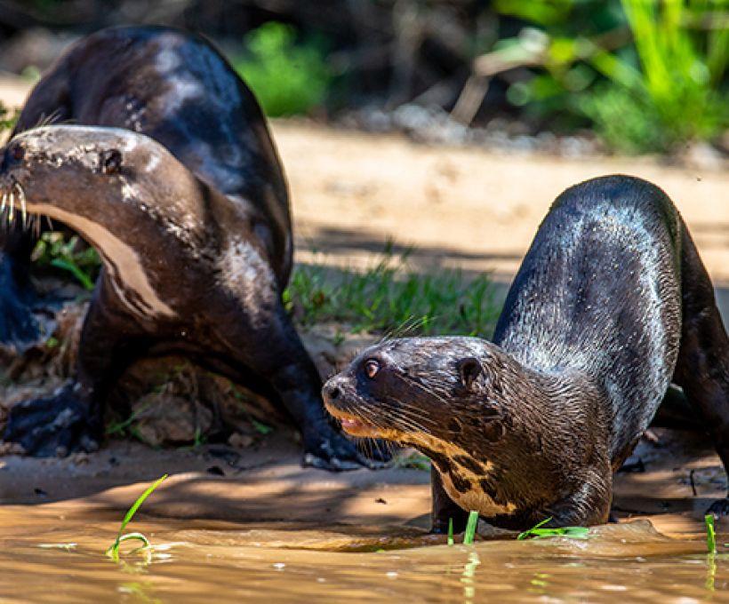 Lontras marinhas